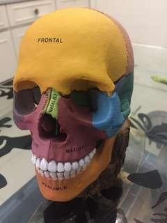 """Human skull (almost 6"""" tall)"""