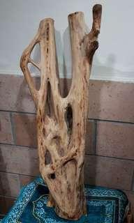 Pasong Hantu. Pohon Kendong Putih. RARE!!!