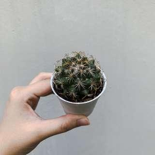 Pot of Cactus #109
