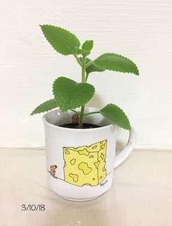 Mini pot of Indian Borage Plant in The Big Cheese Boynton Mug Cup