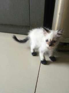 Kucing Himalaya 2 Bln, Jantan, Mata Biru, Sehat, Lincah, Lucu