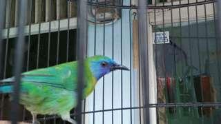 Sepasang burung kinoi