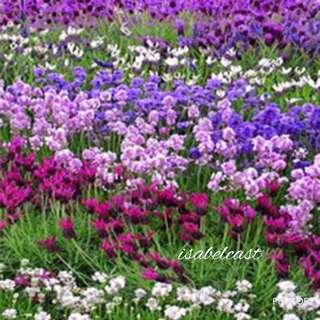 Provence Lavender Mix Color Organic Seeds