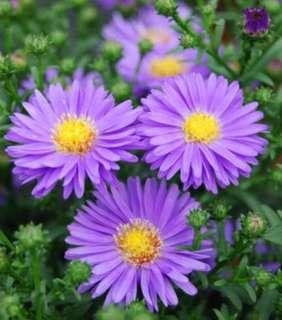 China Aster Double Flower Mix Colour Seeds