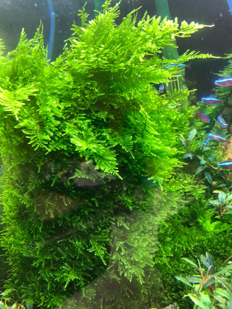 Peacock Moss On Wire Mesh For Sale Pet Supplies For Fish Fish