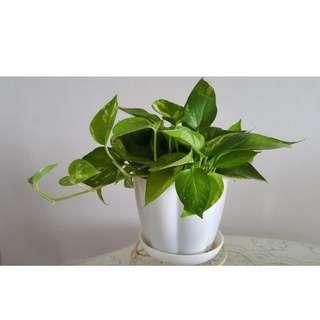Air Purifier Money Plant (Scindapsus aureus)
