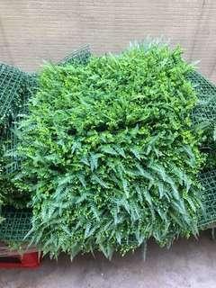 綠色草 草丕 草牆
