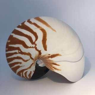 Nautilus 17cm