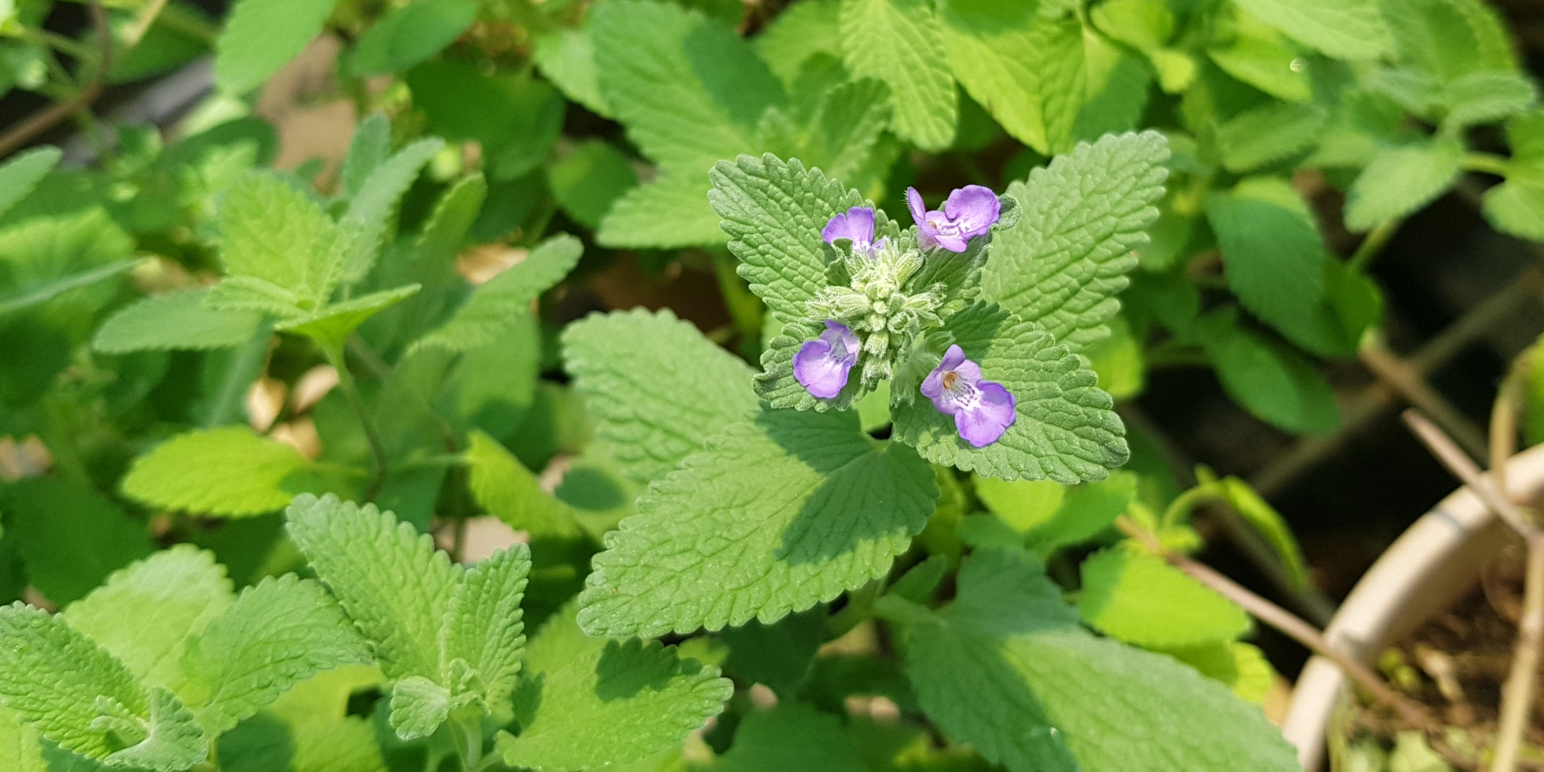 """Picture of 2 (TWO) Live Catnip Plant aka Nepeta cataria Herbs Fit 4"""" Pot"""