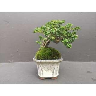 Premna Obtusifolia in modern glazed pot