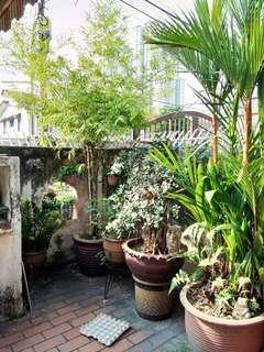 Bamboo tree 6-8feet
