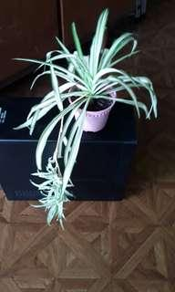 Spider plant white with plantlets