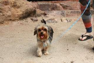 Looking for girl for breeding yorkshire terrier