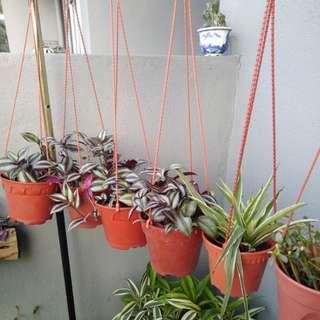 In hanging pots