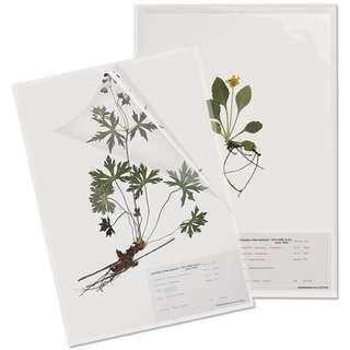 Original herbarium sample