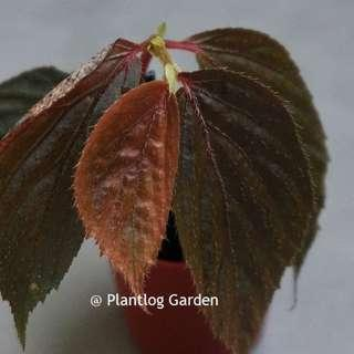 Begonia sp. copper brown
