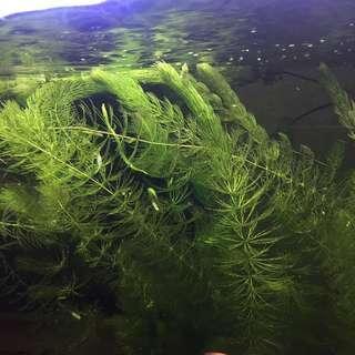 Aquarium hornworts