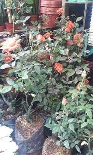 ROSE FLOWER PLANTS