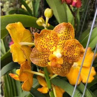 Fragrant Vanda Denisoniana hybrids / Small Hanging Orchid Plants