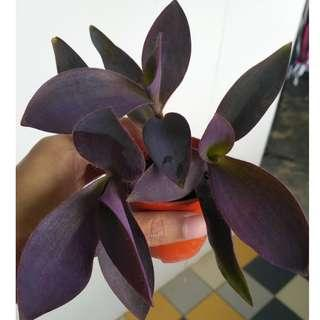 Purple heart (tradescantia pallida)