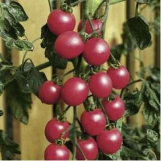 🚚 Cherry Tomato 'Raspberry Baby' (Lycopersicon Esculentum Mill.) M.Late Vegetable Heirloom, 20-30 Seeds