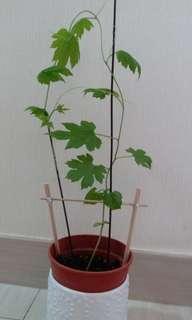(已訂)極靚苦瓜苗盆栽,陽光植物連胶盆