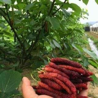Taiwan long mulberry