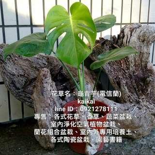 龜背芋(電信蘭、電線蘭)/葉子超美
