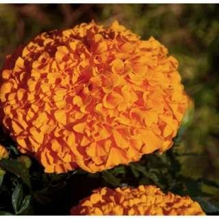 🚚 African Marigold 'Calando Orange (Tagetes Erecta L.) Flower Plant Seeds, Annual Heirloom, 145 Seeds