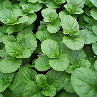 Orange Mint Seeds