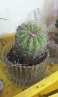Cactus ornament plant #everything18