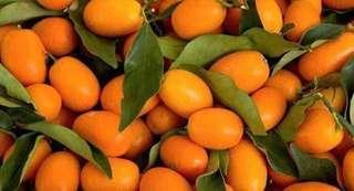 Anak pokok Limau Kumquat