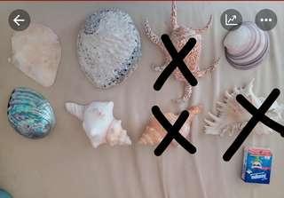 大 貝殼 (每個$30)