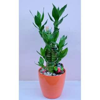 Lotus Bamboo Plant (Fengshui Plant)