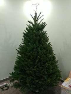 Live Christmas Tree - Mass Order