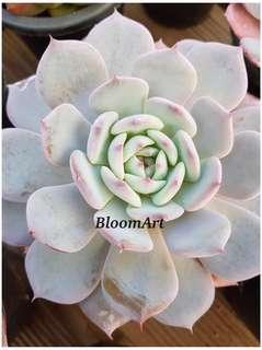 Succulents! Echeveria Horizon