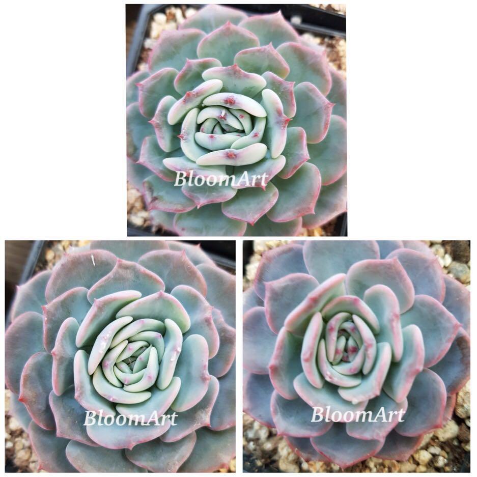 Succulents! - Echeveria Voila