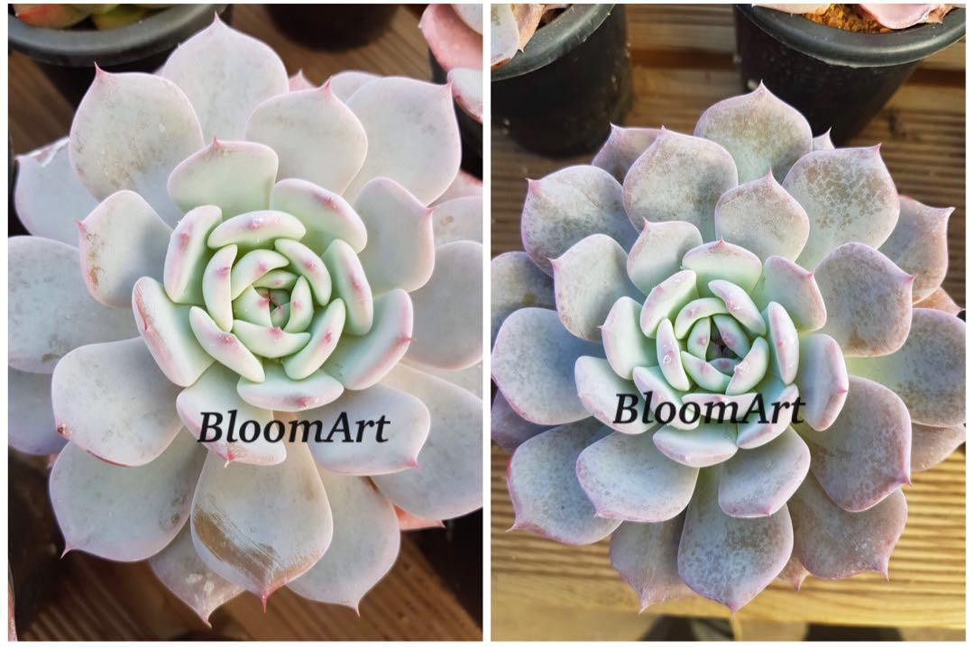 Succulents! Echeveria Horizon