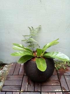 Bird's nest fern in round stony pot