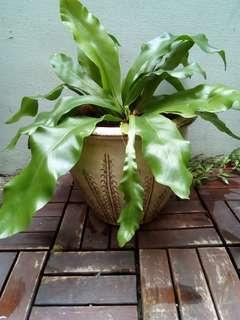 Bird's nest fern in vintage ceramic pot