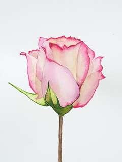 Watercolour Highlights - Rose