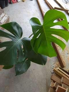 Well grown med size monstera plant
