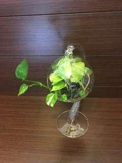 Money Plants in hanging artistic glass