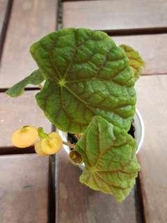 Begonia quadrilata ssp nimbaensis