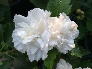 Bunga raya white chiffon plant