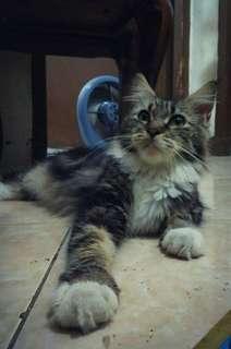 Kucing Maincoon
