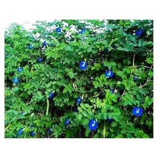 🚚 【蝶豆種子 90/包】 - 多產本土在地蝶豆花種子 單瓣蝶豆種子/一夾鍊袋120顆