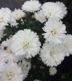 Aster double white swan