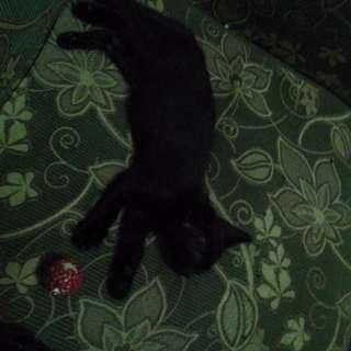 Kucing persia hitam jantan 4 bulan