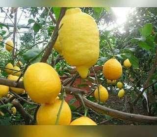 Pokok Lemon Australia #singles1111